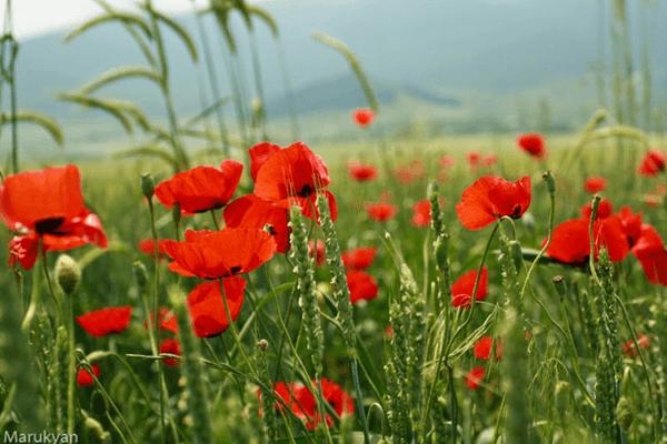 «Կարմիր կակաչներ». Ռուբեն Հախվերդյան և Հարութ Փամբուկչյան