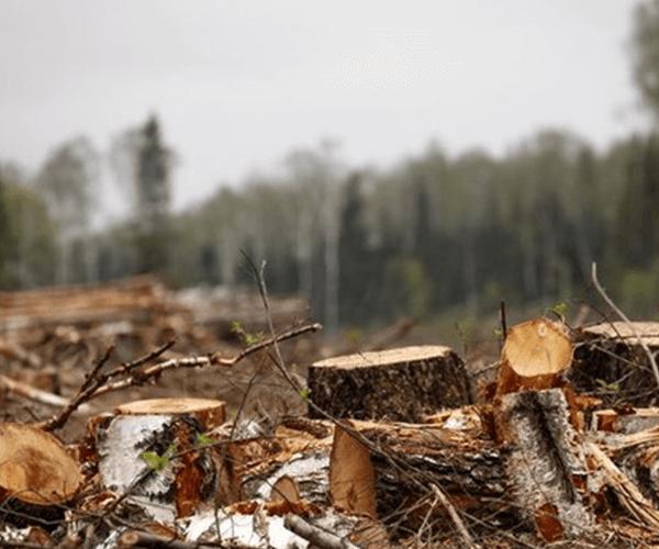 Ալթայում ուսանողը ծառեր է կտրել՝ քննության մեկնելու համար. հարուցվել է քրգործ