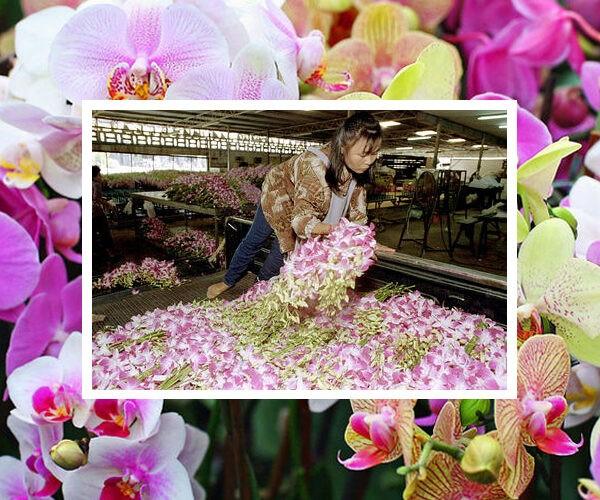 Թաիլանդում միլիոնավոր խոլորձներ են ոչնչացնում