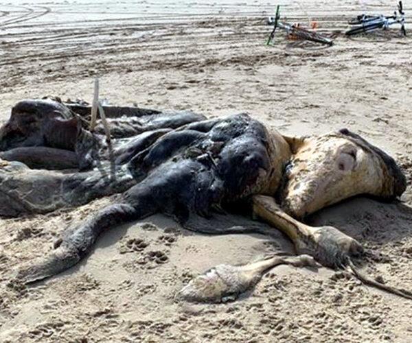 Մեծ Բրիտանիայում անհայտ արարածի 4.5 մետրանոց մարմին են հայտնաբերել